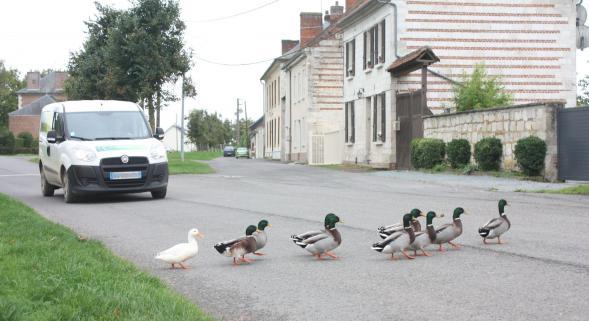 Restrictions budgétaires, les poulets remplacés par des canards.
